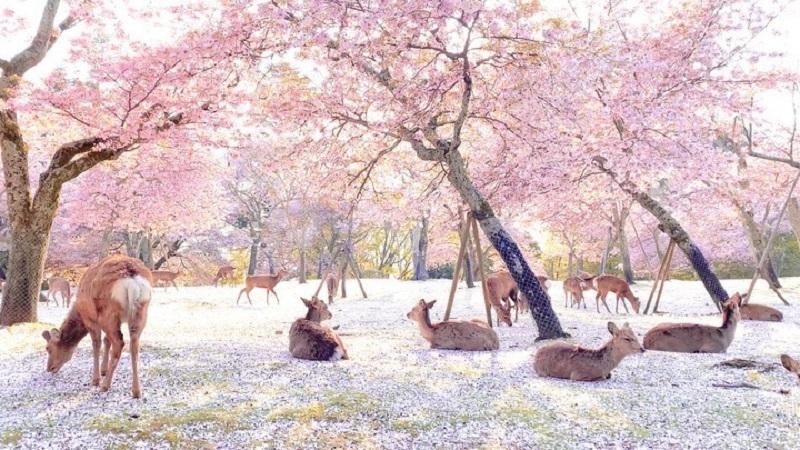 https: img.okezone.com content 2020 05 19 406 2216362 indahnya-pemandangan-bunga-sakura-di-taman-nara-saat-pandemi-corona-ozRmnJUsq5.jpg