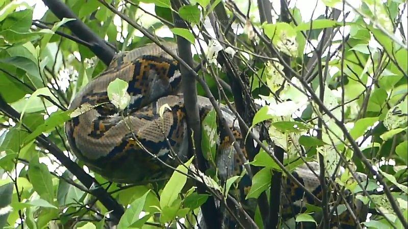 https: img.okezone.com content 2020 06 06 512 2225482 tagana-vs-ular-sanca-nangkring-di-pohon-kabur-ke-sungai-Z8D3YLm3gQ.jpg