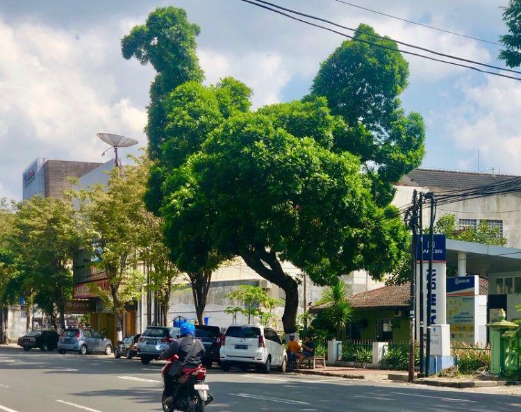 https: img.okezone.com content 2020 06 12 406 2229168 terbentuk-alami-pohon-di-yogyakarta-ini-punya-siluet-burung-unta-0ZIjlykenG.jpg