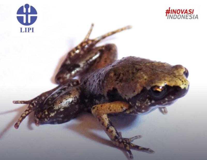https: img.okezone.com content 2020 06 12 56 2228879 lipi-temukan-katak-mini-jenis-baru-di-sumatera-selatan-GsvrNuB3oV.jpg