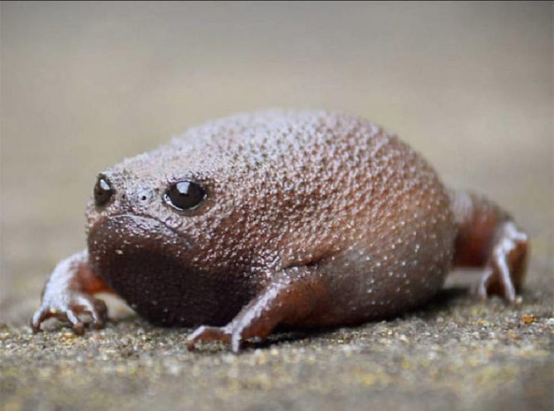https: img.okezone.com content 2020 06 17 612 2231850 mengenal-black-rain-frog-katak-hutan-yang-selalu-cemberut-wbVAKAFamj.jpg