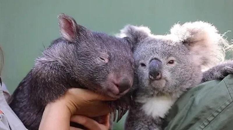 https: img.okezone.com content 2020 06 23 612 2235084 gara-gara-covid-19-koala-dan-wombat-jalin-persahabatan-istimewa-fY5DPItJRQ.jpg