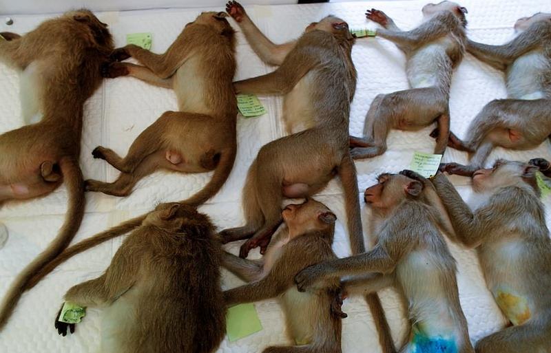 https: img.okezone.com content 2020 06 24 18 2235691 teror-kota-karena-kelaparan-ratusan-kera-di-thailand-dikebiri-massal-LSX51ddxiG.jpg