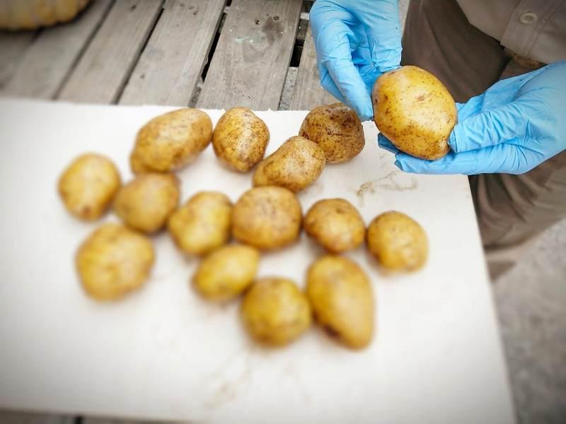 https: img.okezone.com content 2020 06 30 320 2238636 kabar-baik-ekspor-kentang-sumatra-naik-300-di-masa-krisis-covid-19-9UN3kyIIgo.jpeg