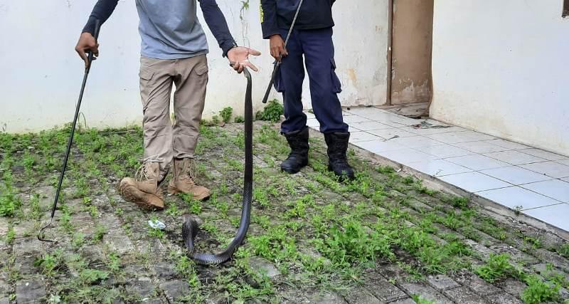 https: img.okezone.com content 2020 06 30 338 2239008 hendak-tempati-rumah-yang-sudah-lama-kosong-rosalinda-malah-dapati-ular-kobra-tnKWqtEJyl.jpg