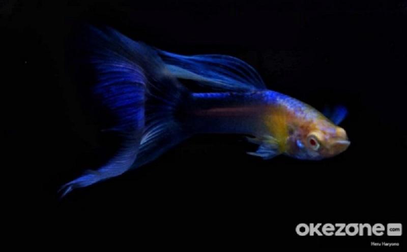 5 Jenis Ikan Hias yang Cocok Dipelihara Pemula, Lu