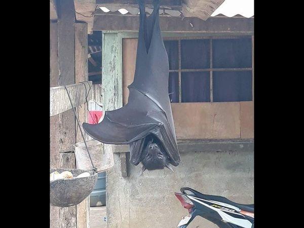 https: img.okezone.com content 2020 07 03 18 2240663 kelelawar-sebesar-manusia-bergantung-di-atap-rumah-filipina-jadi-viral-hebohkan-warganet-tsbNVkDxUw.jpg