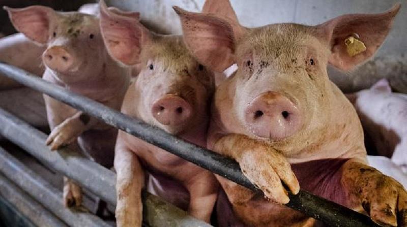 https: img.okezone.com content 2020 07 03 481 2240511 virus-flu-babi-baru-dari-china-khawatirkan-dunia-namanya-g4-ea-h1n1-PmmiskqkZy.jpg