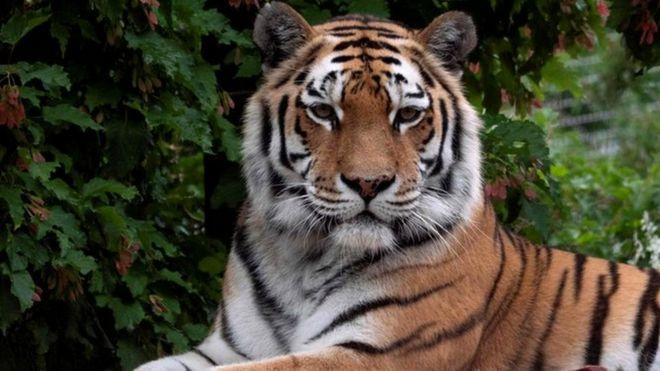 https: img.okezone.com content 2020 07 06 18 2241664 penjaga-kebun-binatang-tewas-diganyang-harimau-di-depan-pengunjung-kU79QfkAlU.jpg