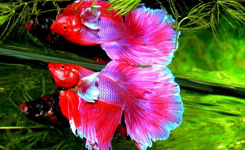 Ikan Cupang Harganya Jutaan Wajarkah Okezone Lifestyle