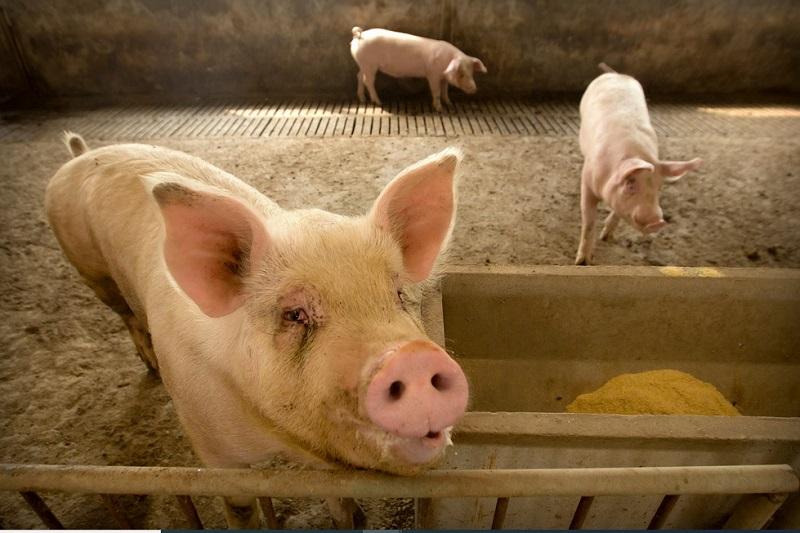 https: img.okezone.com content 2020 07 09 481 2243614 kemenkes-flu-babi-baru-bisa-jadi-pandemi-seperti-covid-19-d0HzCWF5lS.jpg