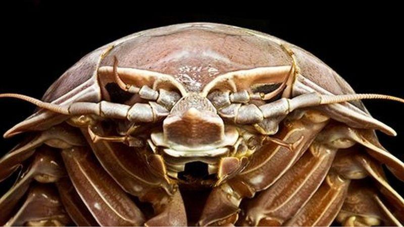 https: img.okezone.com content 2020 07 16 16 2247451 ditemukan-hewan-mirip-kecoak-raksasa-di-selat-sunda-UCkVKMrHbe.jpg