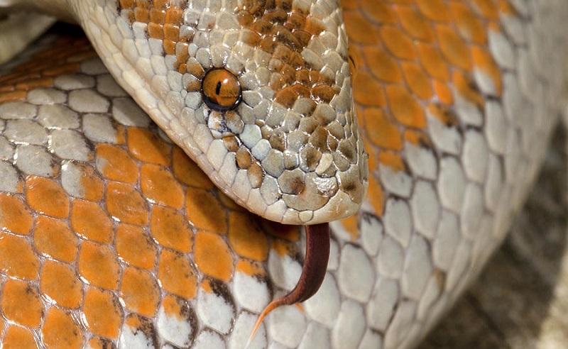 https: img.okezone.com content 2020 07 16 612 2247424 5-jenis-ular-yang-aman-untuk-dipelihara-pemula-pUCSyqSwOV.jpg