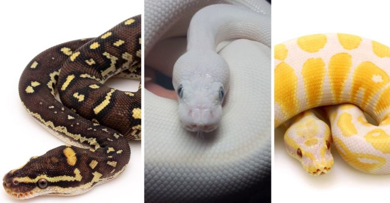 https: img.okezone.com content 2020 07 16 612 2247627 hari-ular-sedunia-inilah-5-ular-dengan-harga-fantastis-g2PrCKxxrY.jpg