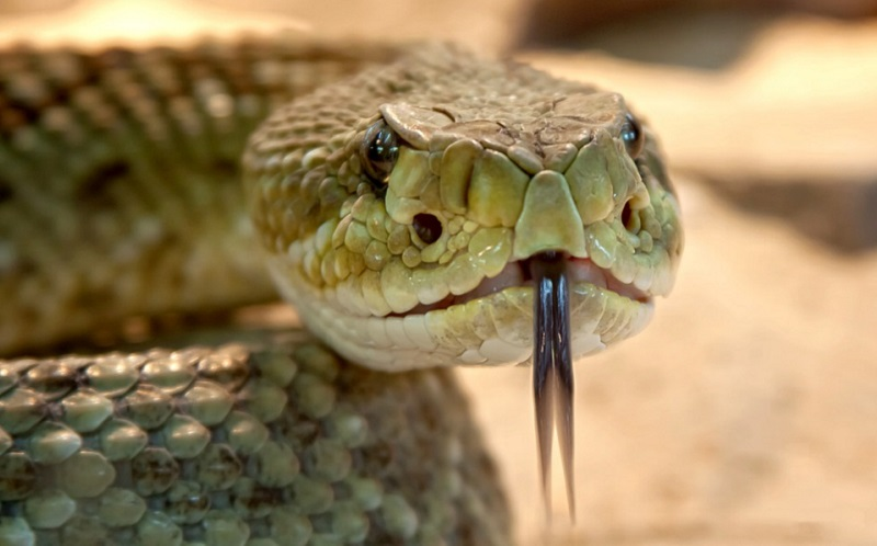 https: img.okezone.com content 2020 07 17 481 2247899 6-manfaat-ular-kobra-bagi-kesehatan-We9zg4mWzQ.jpg