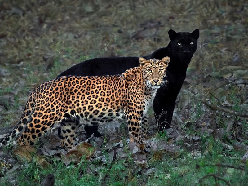 https: img.okezone.com content 2020 07 27 612 2252878 fotografer-abadikan-momen-unik-macan-kumbang-dan-tutul-yang-mirip-bayangan-fj1EDIW9CC.jpg