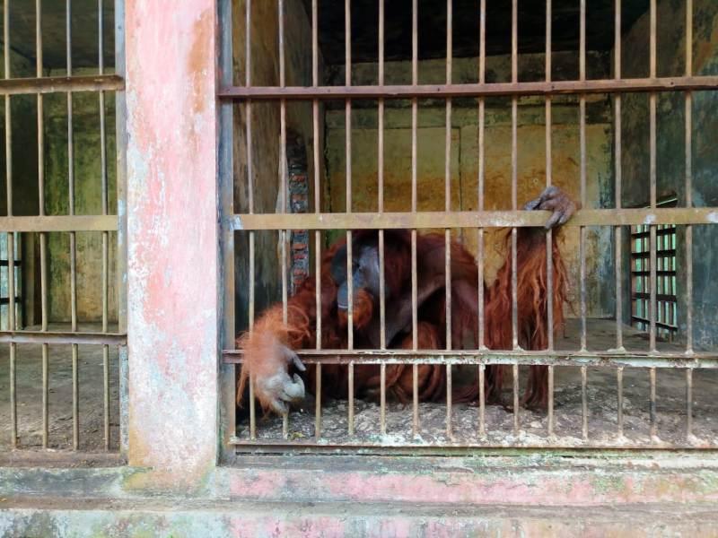 https: img.okezone.com content 2020 07 30 512 2254537 dua-orangutan-kebun-binatang-kurus-mengenaskan-di-pandemi-covid-19-r8e2aE61NV.jpg
