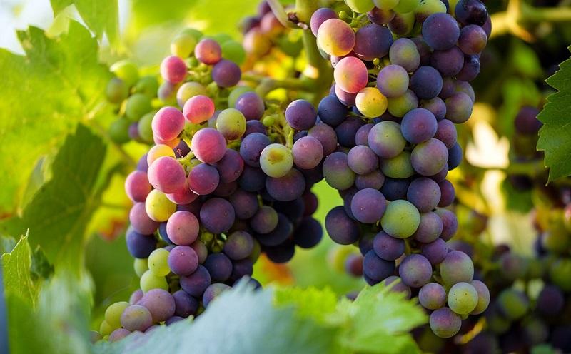 https: img.okezone.com content 2020 08 03 298 2256426 sering-konsumsi-buah-anggur-yuk-ini-5-manfaatnya-SARHb08GDu.jpg