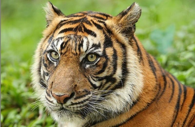 https: img.okezone.com content 2020 08 19 610 2264589 harimau-berkeliaran-di-area-perkebunan-petani-was-was-dWOTfEkoO7.jpg