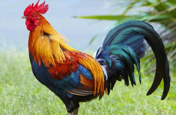 Eksistensi Logo Ayam di Dunia Bisnis, dari Restoran hingga