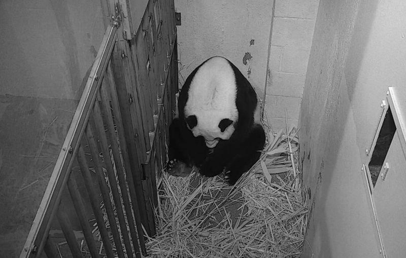 https: img.okezone.com content 2020 08 24 16 2266423 ibunya-berusia-22-tahun-anak-panda-raksasa-lahir-dari-hasil-inseminasi-buatan-UJvuDcSmm4.jpg