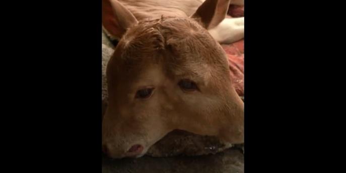 https: img.okezone.com content 2020 08 25 18 2267331 kelahiran-anak-sapi-berkepala-dua-hebohkan-desa-di-china-NLEUPIHnUo.jpg