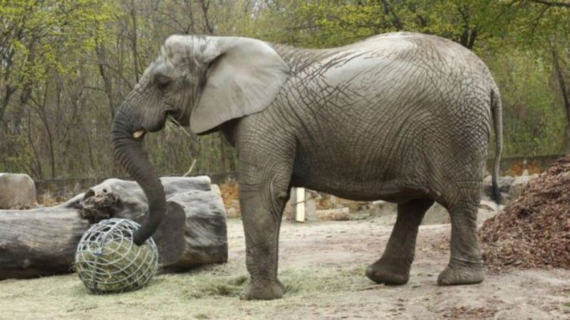 https: img.okezone.com content 2020 08 28 16 2268836 peneliti-uji-metode-baru-untuk-obati-gajah-stres-T4Q6bWIIxW.jpg