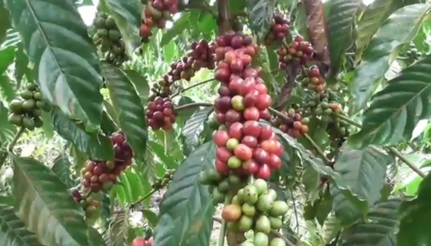 https: img.okezone.com content 2020 09 01 455 2270856 mengintip-budidaya-robusta-kopi-terbaik-di-dunia-1s8OX6NxHK.jpg