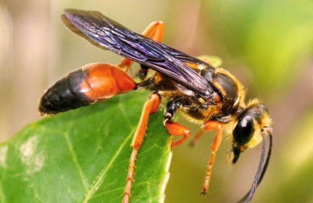 https: img.okezone.com content 2020 09 03 16 2272083 ditemukan-lebah-pembunuh-bisa-tumbuh-hingga-5-cm-di-as-pV621aZyAK.jpg