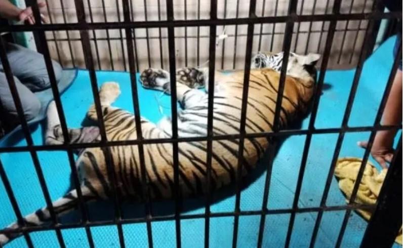https: img.okezone.com content 2020 09 03 340 2271774 harimau-sumatera-ditemukan-mati-bbksda-sebut-terkena-jerat-pemburu-zxLE2uovi9.jpg
