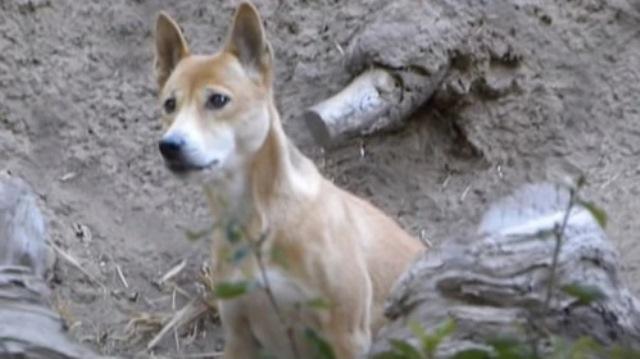 https: img.okezone.com content 2020 09 04 16 2272575 ilmuwan-temukan-anjing-bernyanyi-yang-dianggap-punah-di-papua-rLGtorWihY.jpg