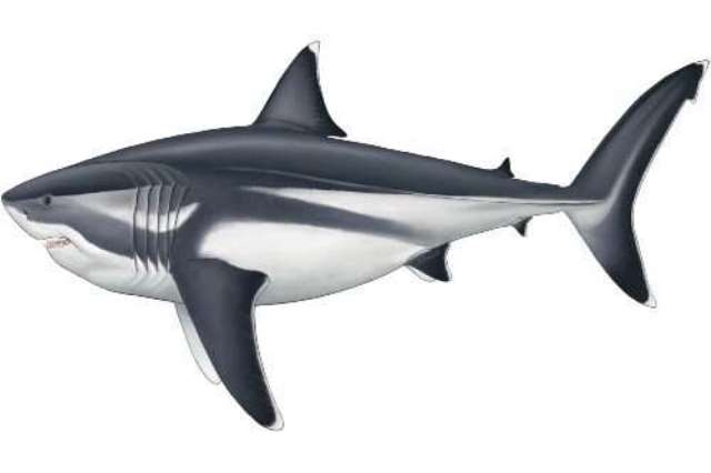 https: img.okezone.com content 2020 09 04 16 2272616 terungkap-ukuran-sebenarnya-hewan-laut-purba-megalodon-xwRnyubvJF.jpg