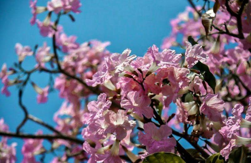 https: img.okezone.com content 2020 09 08 408 2274558 surabaya-kembangkan-bunga-tabebuya-mirip-dengan-sakura-loh-fyG4HCOf9G.jpg
