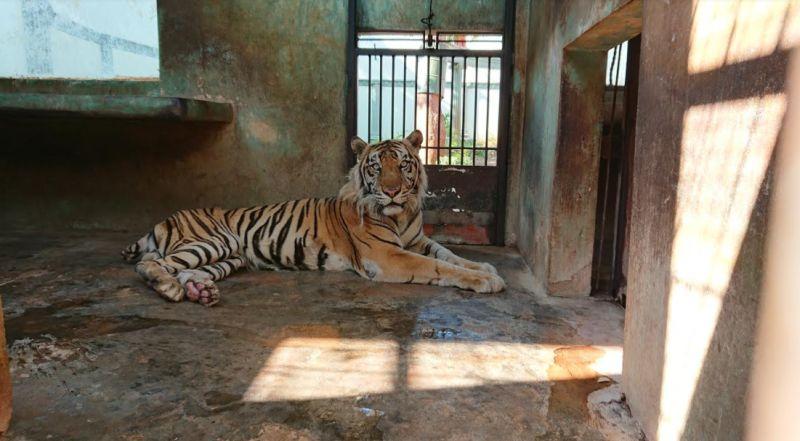 https: img.okezone.com content 2020 09 09 519 2274727 viral-harimau-kurus-tak-terawat-di-kebun-binatang-ternyata-xnVzna5aMI.jpg