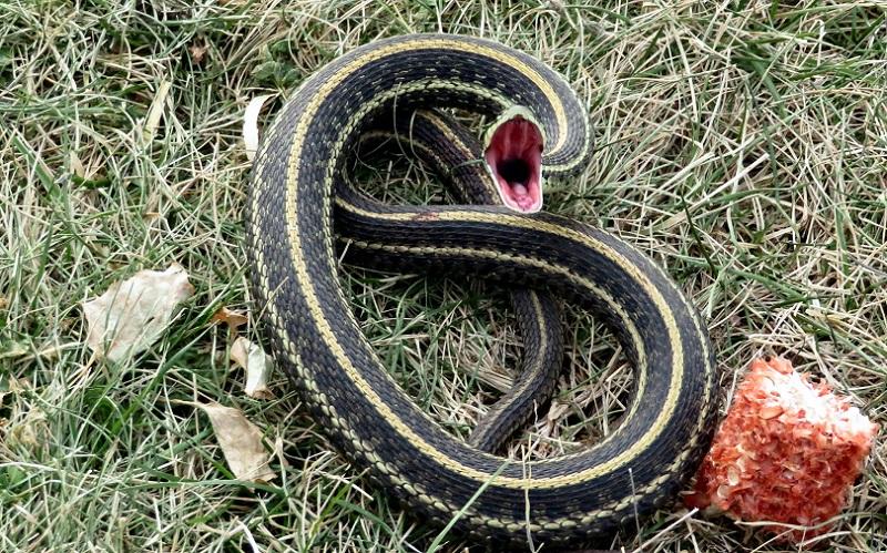 https: img.okezone.com content 2020 09 09 612 2275139 dianggap-musuh-remaja-ini-digigit-8-kali-oleh-ular-yang-sama-dWcESrKKnQ.jpg