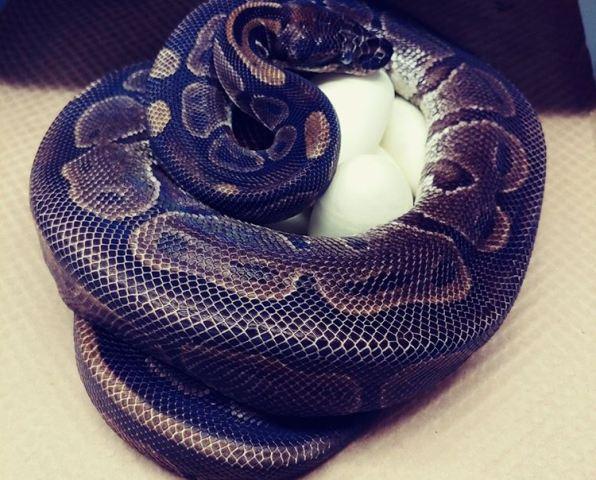 https: img.okezone.com content 2020 09 13 16 2277040 ular-piton-bertelur-tanpa-pejantan-para-ahli-bertanya-tanya-uMvif9i56q.jpg