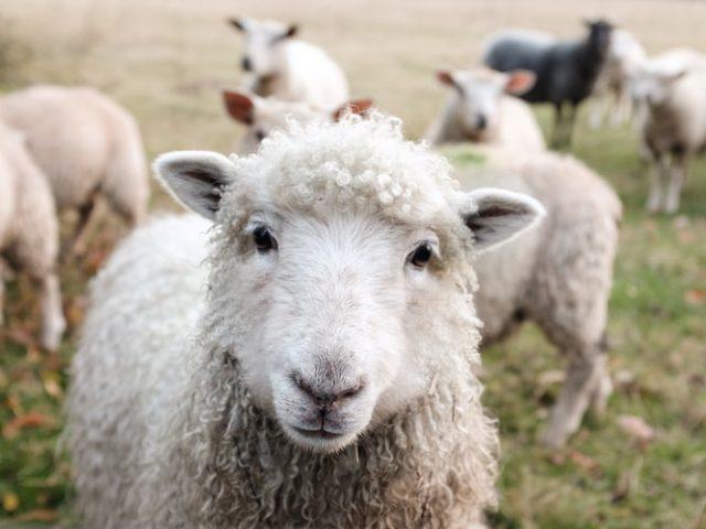 https: img.okezone.com content 2020 09 15 16 2278398 ini-manfaat-pelihara-domba-menurut-penjelasan-alquran-dan-sains-HGpExWUern.jpg