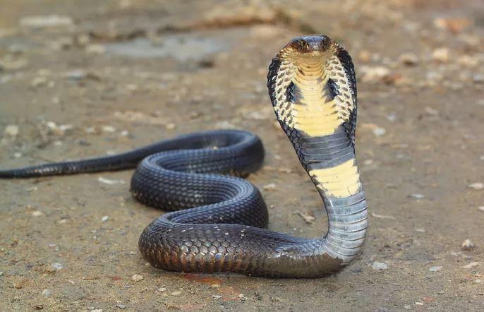 https: img.okezone.com content 2020 09 18 338 2279800 warga-cipinang-melayu-dikagetkan-kemunculan-2-ular-cobra-di-dalam-kain-u9rhJ7HpQH.jfif