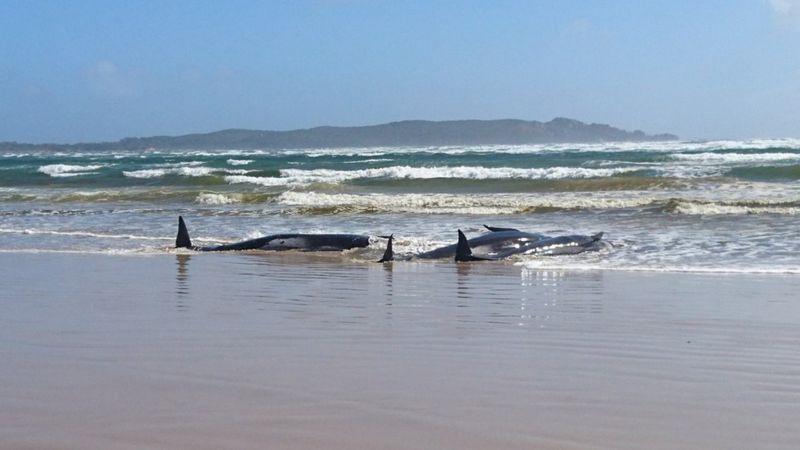 https: img.okezone.com content 2020 09 22 18 2281807 90-paus-pilot-mati-setelah-terdampar-massal-di-australia-Soc55WnJMG.jpg