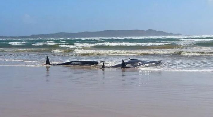 https: img.okezone.com content 2020 09 23 18 2282538 hampir-500-paus-terdampar-di-pantai-tasmania-terbesar-yang-pernah-ada-ZiFgpNe0ZR.jpg