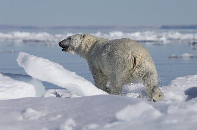 https: img.okezone.com content 2020 09 25 16 2283623 beruang-kutub-utara-dapat-untung-dari-penyusutan-es-laut-kok-bisa-vweKrednhH.jpg