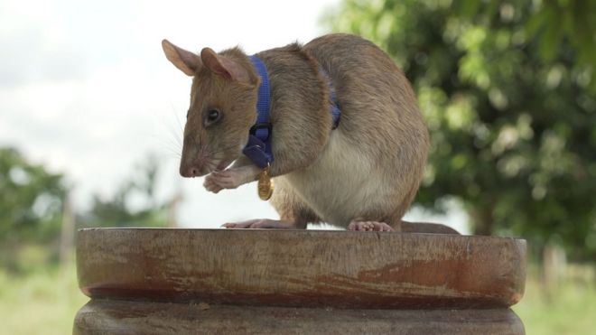 https: img.okezone.com content 2020 09 25 18 2283661 tikus-raksasa-dianugerahi-medali-atas-jasanya-deteksi-ranjau-di-kamboja-ymDiXxao5R.jpg