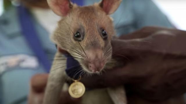 https: img.okezone.com content 2020 09 26 16 2284267 deteksi-ranjau-darat-tikus-raksasa-ini-dapat-penghargaan-pahlawan-hewan-EYatd5tXN9.png