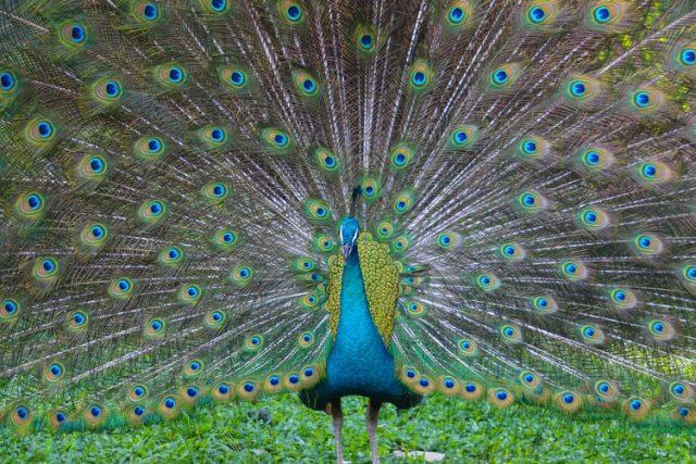 Ilmuwan Ungkap Penyebab Bulu Burung Merak Jantan d