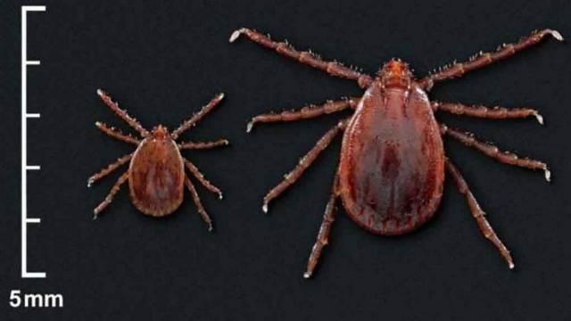 https: img.okezone.com content 2020 10 01 16 2286600 kutu-pengisap-darah-hewan-ternak-ditemukan-di-amerika-y8ZbBB9pZc.jpg