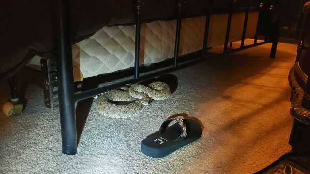 https: img.okezone.com content 2020 10 01 16 2286756 ini-ular-derik-berbisa-yang-banyak-menggigit-manusia-di-amerika-5kz0Zx95eb.jpg