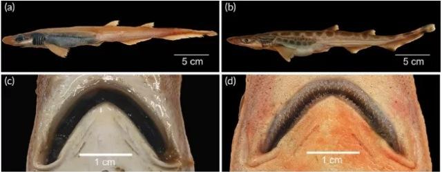 https: img.okezone.com content 2020 10 03 16 2287873 nelayan-menjaring-hiu-abnormal-dengan-tubuh-tanpa-kulit-dan-gigi-FzHf5UqrBF.jpg