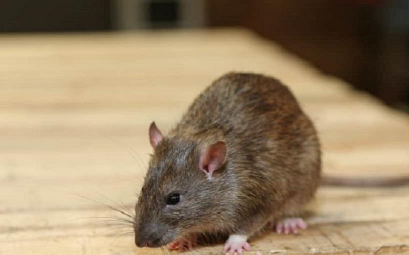 https: img.okezone.com content 2020 10 05 612 2288633 waduh-tikus-besar-berkeliaran-di-restoran-ini-ZXuEpEiKvh.jpg