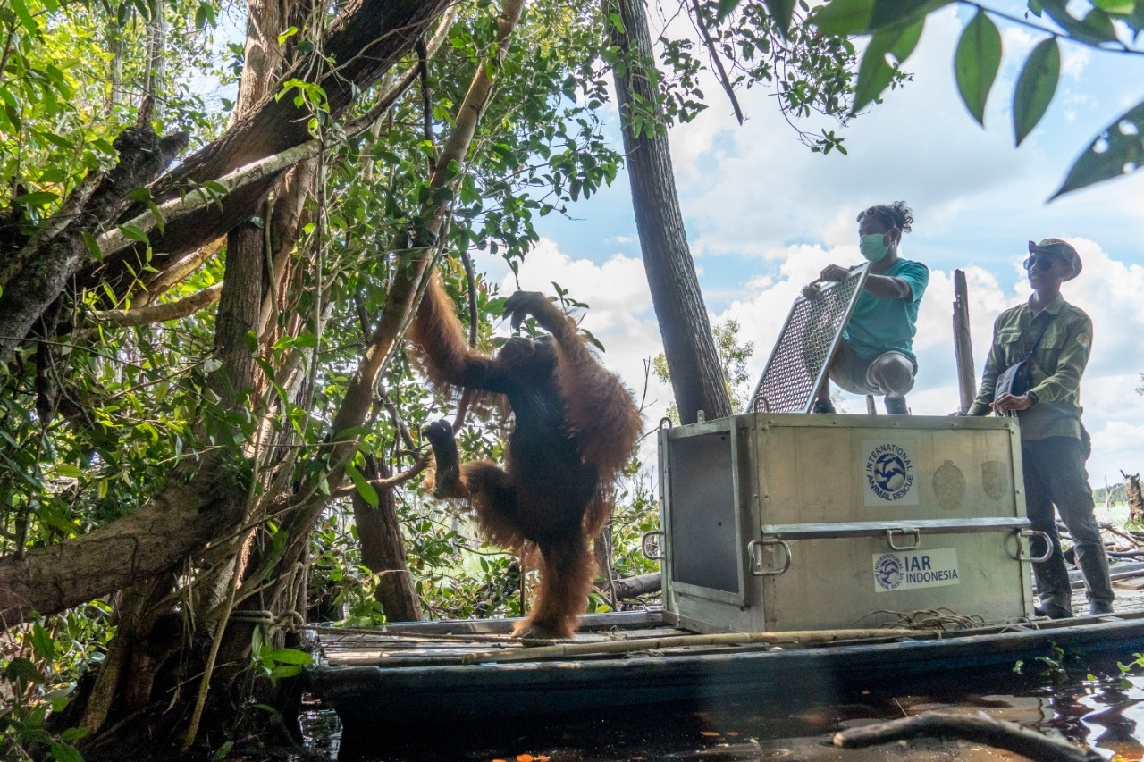 https: img.okezone.com content 2020 10 06 340 2288952 jhon-orangutan-yang-sering-ke-rumah-warga-kini-hidup-bebas-di-belantara-mmWMPAtlTu.jpg