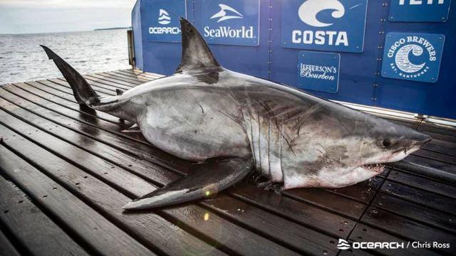 https: img.okezone.com content 2020 10 07 16 2289972 hiu-putih-raksasa-berusia-50-tahun-ditemukan-di-pantai-kanada-ErV26gTDN2.jpg